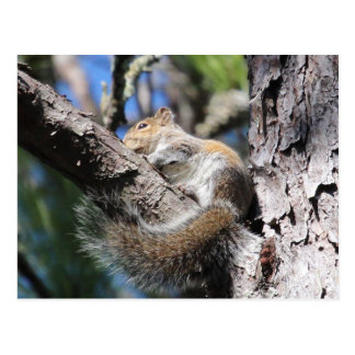 Small Squirrel in Pine Tree Fork Sunning Postcard