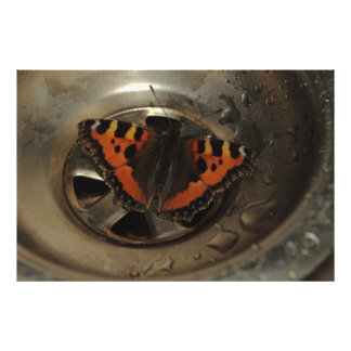 Small Tortoiseshell Butterfly In Sink Photograph