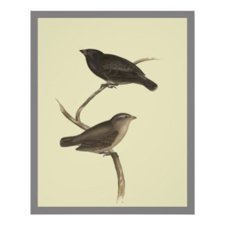Small Tree Finch Poster
