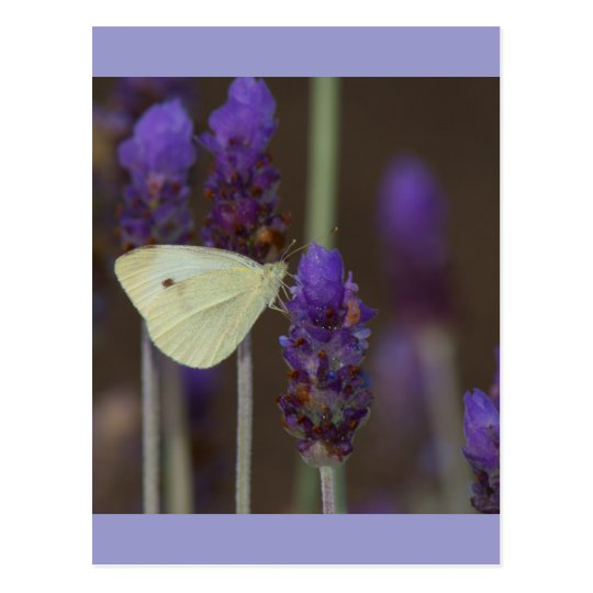Small White and Lavender Postcard
