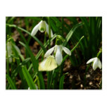 Small White on Snowdrop Spring Butterfly Postcard