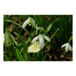 Small White on Snowdrop Spring Butterfly Poster