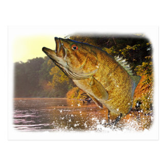 Smallmouth Bass Postcard