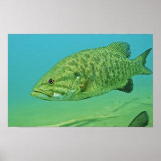 Smallmouth Bass Poster