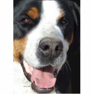 Smile! Greater Swiss Mountain Dog Photo Sculpture
