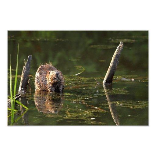 Smiling Beaver Photo Print