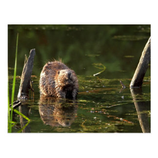 Smiling Beaver Post Cards