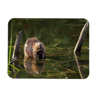 Smiling Beaver Rectangle Magnets
