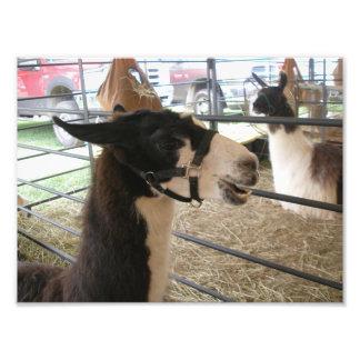 Smiling Black and White Llama at County Fair Art Photo