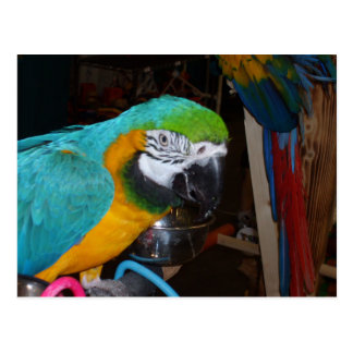 Smiling Blue and Gold Macaw Postcard