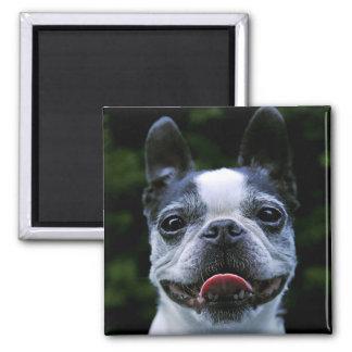 Smiling Boston Terrier Magnet