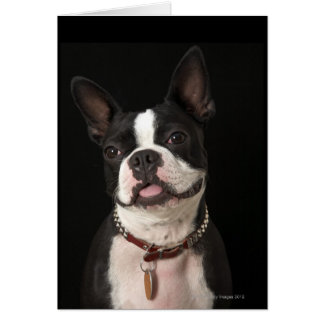 Smiling Boston terrier with collar Card