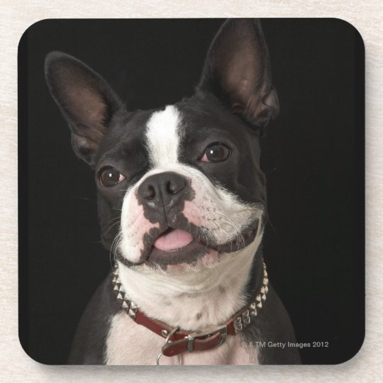 Smiling Boston terrier with collar Coaster