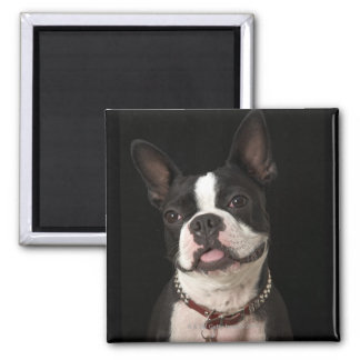 Smiling Boston terrier with collar Magnet
