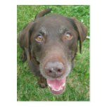 Smiling Chocolate Labrador Retriever Postcards