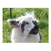 Smiling Llama  Postcard