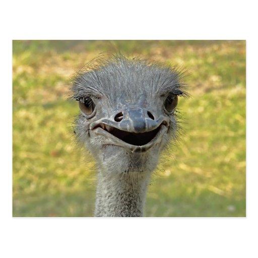 Smiling Ostrich Postcard
