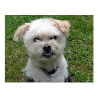 Smiling Poodle-cross Postcard