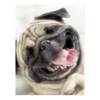 Smiling pug.Funny pug Postcard