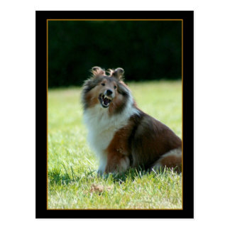 Smiling Shetland Sheepdog postcard
