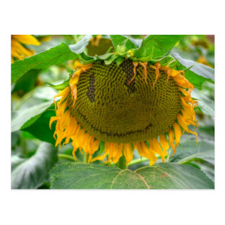 Smiling Sunflower Postcard