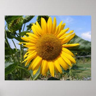 Smiling Sunflower Poster