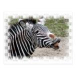 Smiling Zebra Postcard