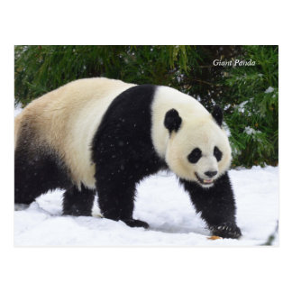 Smithsonian | Giant Pandas In The Snow Postcard