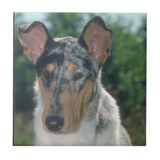Smooth Blue Merle Collie Tile