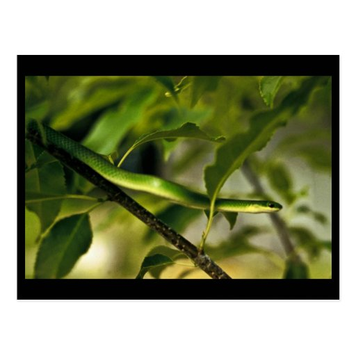 Smooth Green Snake Postcard
