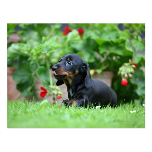 Smooth-haired Miniature Dachshund 1 Post Card