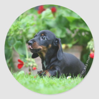 Smooth-haired Miniature Dachshund 1 Classic Round Sticker