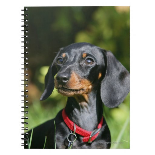 Smooth-haired Miniature Dachshund 3 Spiral Note Book