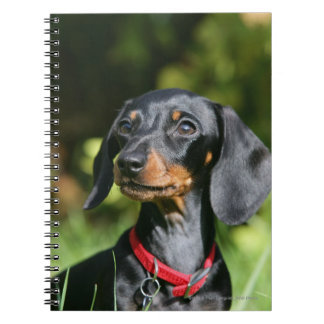 Smooth-haired Miniature Dachshund 3 Spiral Notebook