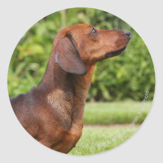 Smooth-haired Miniature Dachshund Classic Round Sticker