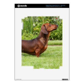 Smooth-haired Miniature Dachshund iPad 3 Decal