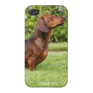 Smooth-haired Miniature Dachshund iPhone 4 Case