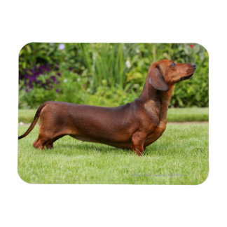 Smooth-haired Miniature Dachshund Magnet