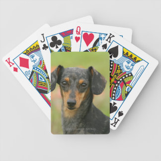 Smooth-haired Miniature Dachshund Puppy Looking at Bicycle Playing Cards
