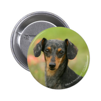 Smooth-haired Miniature Dachshund Puppy Looking at Button