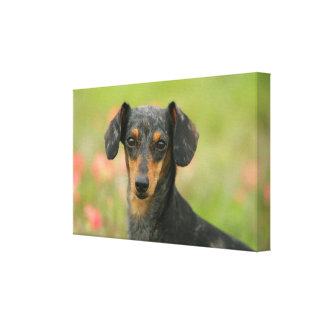 Smooth-haired Miniature Dachshund Puppy Looking at Canvas Print