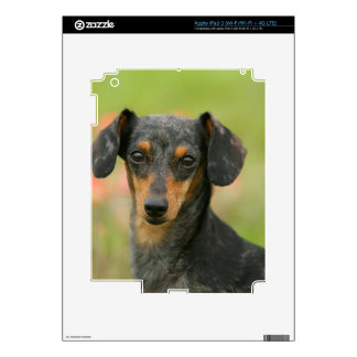 Smooth-haired Miniature Dachshund Puppy Looking at iPad 3 Decal