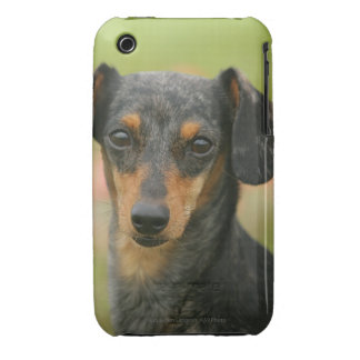 Smooth-haired Miniature Dachshund Puppy Looking at iPhone 3 Cases