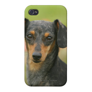 Smooth-haired Miniature Dachshund Puppy Looking at iPhone 4/4S Cover