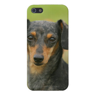 Smooth-haired Miniature Dachshund Puppy Looking at iPhone SE/5/5s Cover