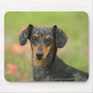 Smooth-haired Miniature Dachshund Puppy Looking at Mouse Pad