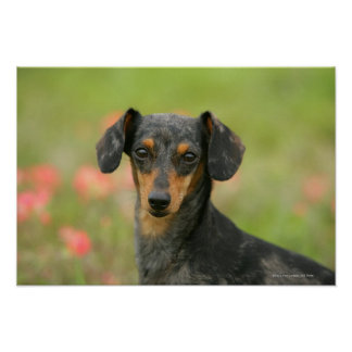 Smooth-haired Miniature Dachshund Puppy Looking at Poster