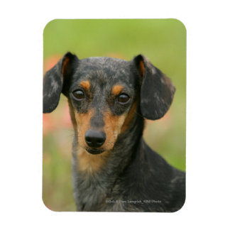 Smooth-haired Miniature Dachshund Puppy Looking at Rectangular Photo Magnet