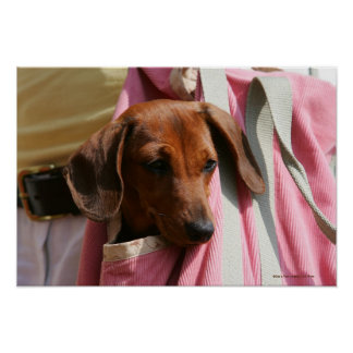 Smooth-haired Miniature Dachshund Puppy Poster