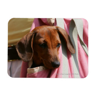 Smooth-haired Miniature Dachshund Puppy Rectangular Photo Magnet